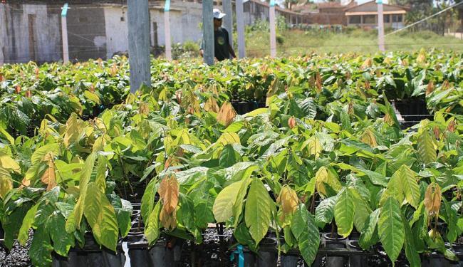 Novos clones criados pela Ceplac são esperança para melhorar a produção da Bahia - Foto: Joá Souza | Ag. A TARDE
