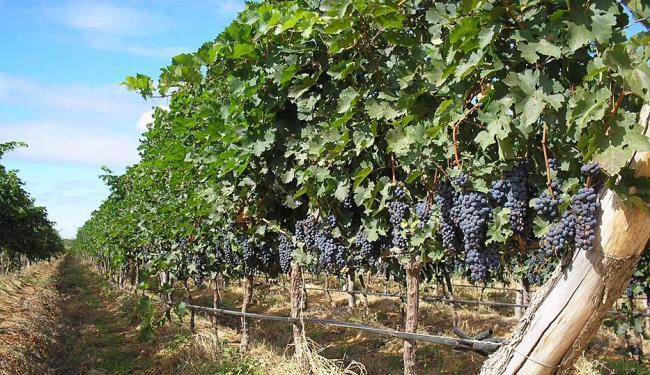 Nos vinhedos da Ouro Verde são produzidas as uvas tintas e brancas - Foto: Miolo   Divulgação