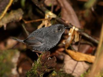 Macuquinho-preto-baiano foi visto pela primeira vez em 1993 - Foto: Ciro Albano | NE Brasil Birding