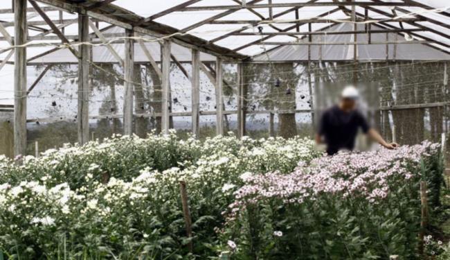 Em Maracás,no sudoeste está um dos principais polos produtores de flores e plantas ornamentais - Foto: Fernando Vivas | Ag. A TARDE | 28.08.2009