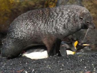 Foca força ato sexual com pinguim-rei na Ilha Marion, no Atlântico Sul. - Foto: Reprodução