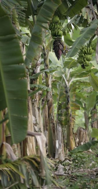 A Bahia é o segundo maior produtor de banana do país, com 1,2 milhão de tonelada - Foto: Adilton Venegeroles | Ag. A TARDE