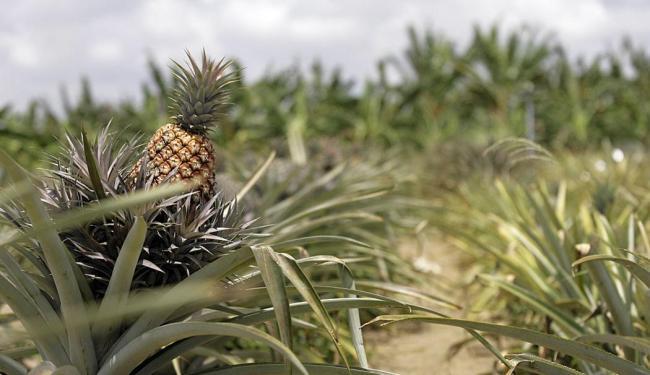 A Bahia atingiu a produção de 140 milhões de frutos de abacaxi, em uma área de 5.841 hectares - Foto: Adilton Venegeroles | Ag. A TARDE