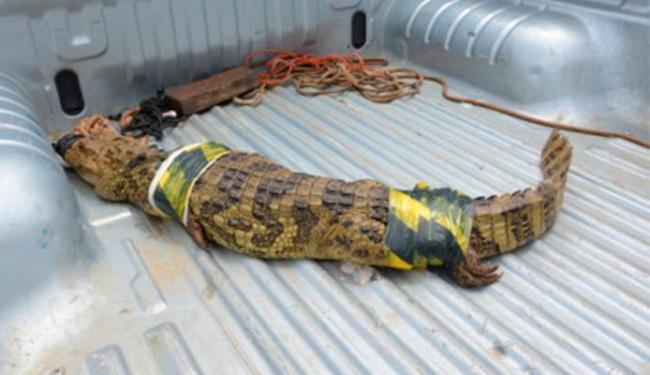O réptil pesa cerca de quarenta quilos e mede um metro e meio de comprimento - Foto: Reprodução | Blog do Anderson