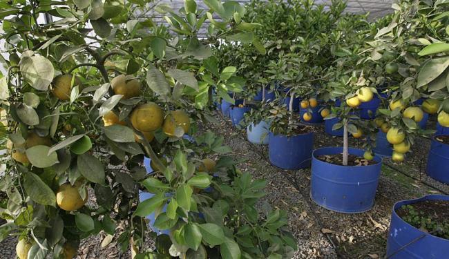 A Embrapa de Cruz das Almas preserva a 2ª maior coleção do banco de germoplasma de citros do Brasil - Foto: Adilton Venegeroles | Ag. A TARDE | 28.10.2014
