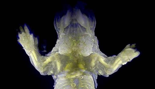 Imagem divulgado pelo instituto mostra que é possível ver os órgãos dos ratos trasnparentes - Foto: Divulgação
