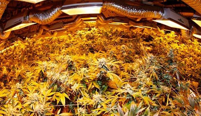 Plantas de maconha tratadas em estufa em Denver, EUA - Foto: David Zalubowski | AP