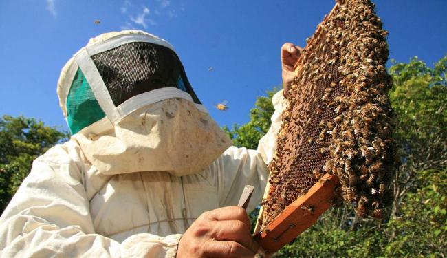 Bahia produz 600 mil toneladas de mel de abelhas africanizadas - Foto: Joa Souza   Ag. A TARDE   19.12.2009