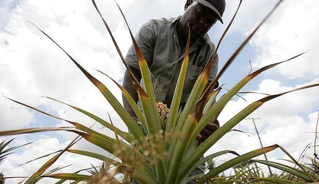 Bahia inicia produção de abacaxi mais resistente - A Tarde On Line