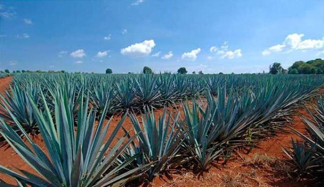 Agave Azul não serve só para fazer tequila, aponta estudo - Foto: Reprodução