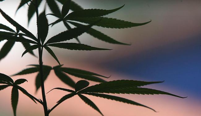 Canabidiol é extraído da cannabis sativa (maconha) - Foto: Fernando Vivas | Ag. A TARDE