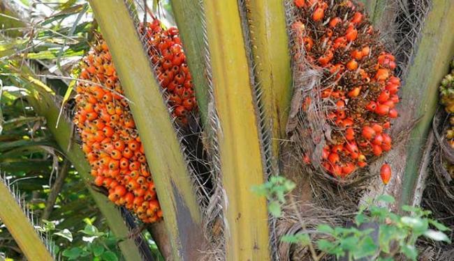 Dendê é a fruta da palmeira Elaeais guineensis Jaquim - Foto: Joá Souza | Ag. A TARDE