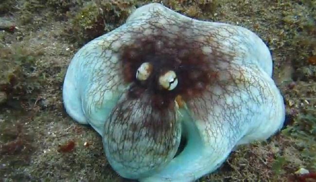 Antes de 'sumir', o molusco exibia vistoso azul entre os corais - Foto: Reprodução | Yotube Jonathan Gordon