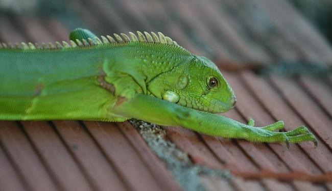Quando o réptil está excitado ele adquire novas cores - Foto: Edmar Melo | Ag. A TARDE | 03.08.2004
