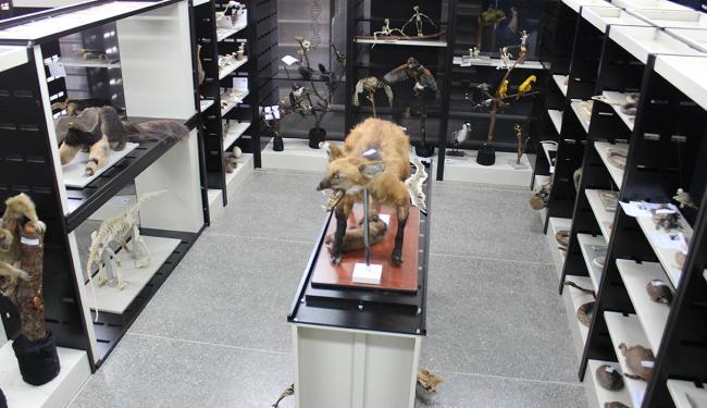 Exemplar de lobo-guará se destaca no acervo - Foto: Ascom Ufob l Divulgação