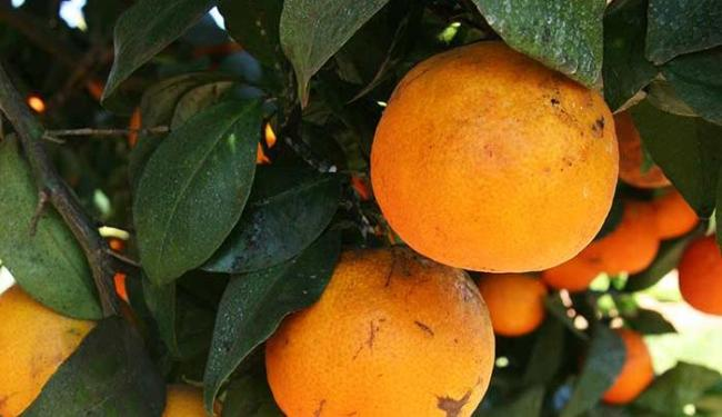 Além de ter vitamina C, tangerina é rica em potássio - Foto: José Silva   Divulgação