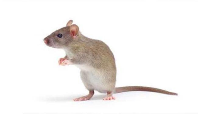 Camundongos voltaram a ter memórias - Foto: Divulgaçaõ