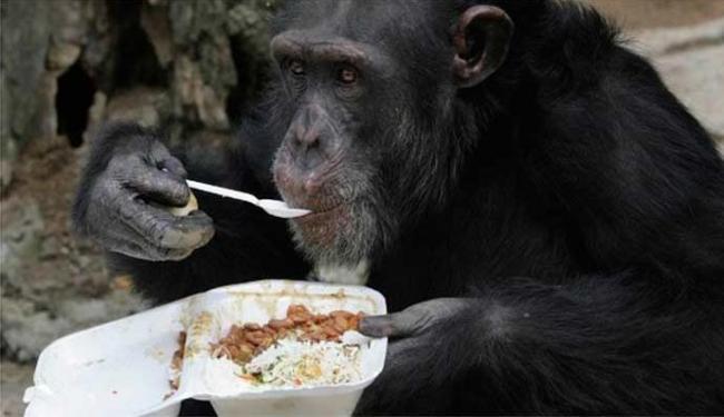 Chimpanzés possuem habilidades mentais necessárias para cozinhar - Foto: Agência Reuters