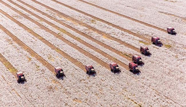A colheita dos 300 mil hectares de algodão plantados na Bahia começa em julho - Foto: Rui Rezende l Divulgação