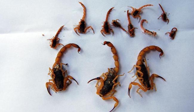 Acidentes com escorpiões estão entre os mais comuns na Bahia - Foto: Arquivo | Ag. A TARDE | 4.2.2011