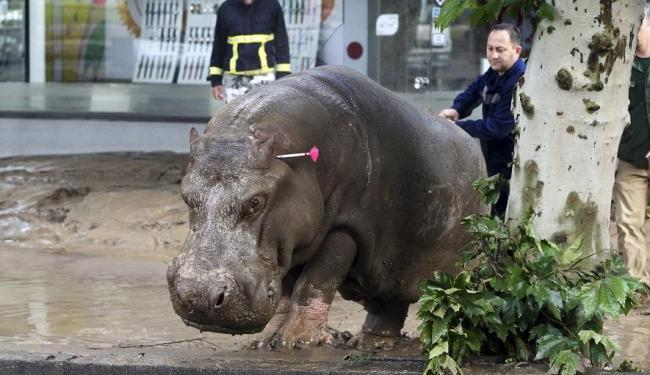 Hipopótamo passeia pelas ruas de Tbilisi após enchente - Foto: Agência Reuters