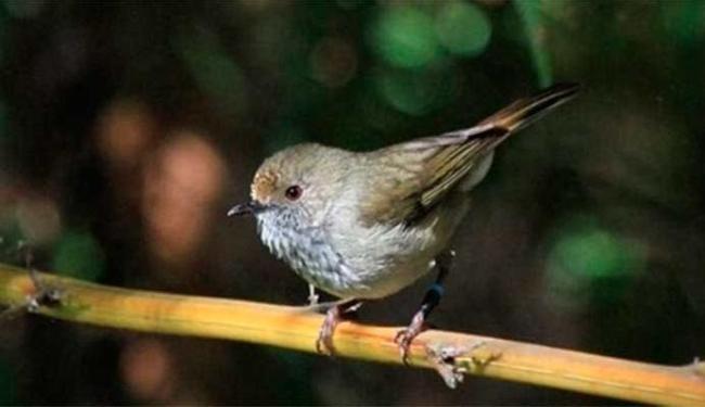 Canto de passarinho afasta predadores - Foto: Branislav Igic | Divulgação