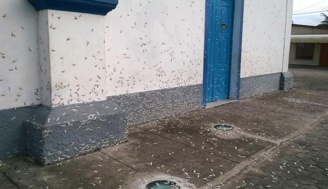 Insetos se reproduziram em diferentes locais do município - Foto: Reprodução | Site Primeiro Jornal