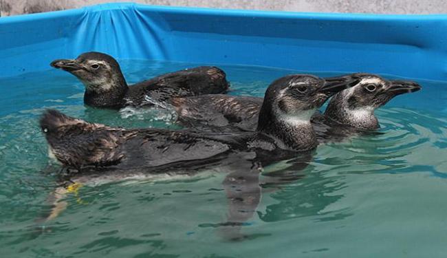 Animais são postos em piscina após se alimentar - Foto: Eduardo Martins l Ag. A TARDE
