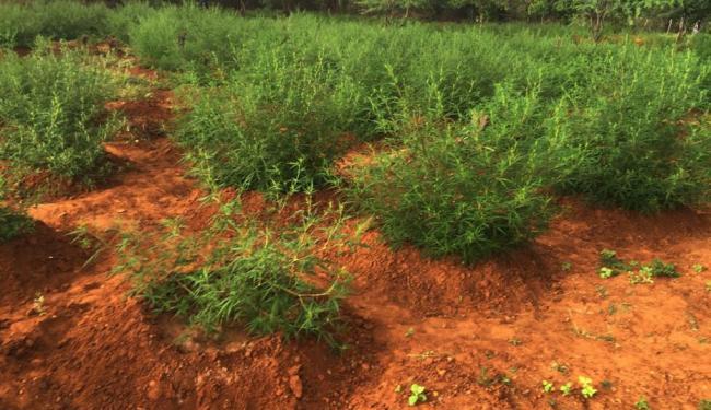 Polícia busca identificar e localizar os responsáveis pela plantação - Foto: Ascom | Polícia Civil