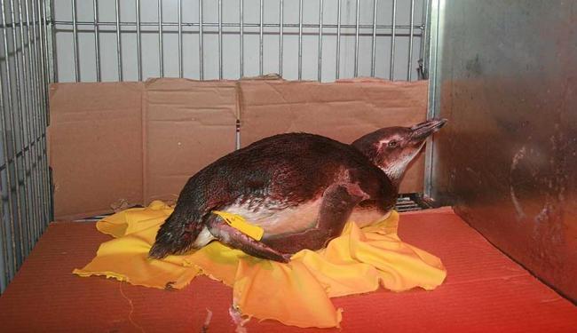 Após resgate, pinguim foi colocado em sala aquecida para elevar temperatura corporal - Foto: Raul Aguilar | Ag. A TARDE