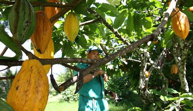 Produção deve alcançar 300 mil toneladas este ano - Foto: Joá Souza l Ag. A TARDE l 21.11.2011
