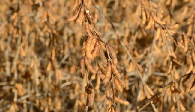 Produzida pela Basf, a Cultivance é mais resistente a pragas - Foto: Embrapa | Divulgação