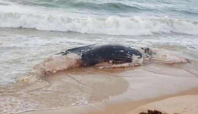 Filhote de baleia mede entre 7 e 8 metros - Foto: Divulgação   Instituto Baleia Jubarte