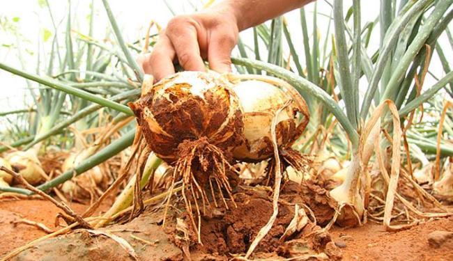 A Bahia é o 4º maior produtor de cebola do País - Foto: Ivan Cruz l Ag. A TARDE l 11.04.2007