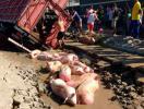 Porcos morrem após caminhão afundar em buraco - Foto: Reprodução | Acorda Cidade
