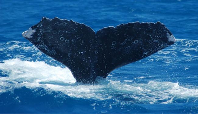 Baleia foi identificada através de uma fotografia da cauda - Foto: Reprodução   Projeto Baleia Jubarte