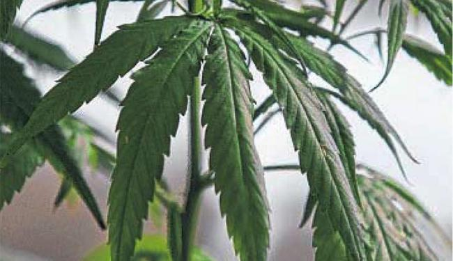Planta é usada como matéria-prima para o remédio - Foto: Fernando Vivas | Ag. A TARDE