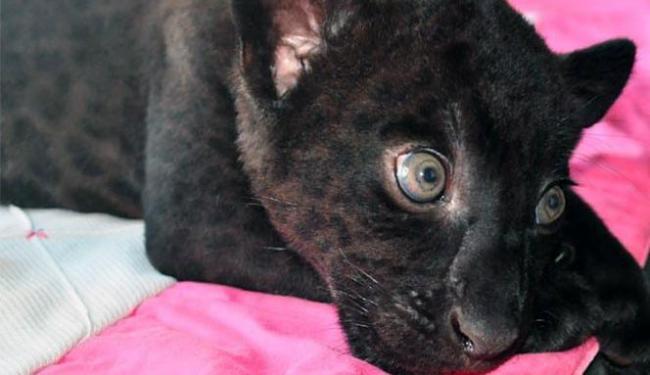O animal nasceu no último dia 15 de agosto no Zoológico de Salvador - Foto: (Foto: Divulgação | Inema)