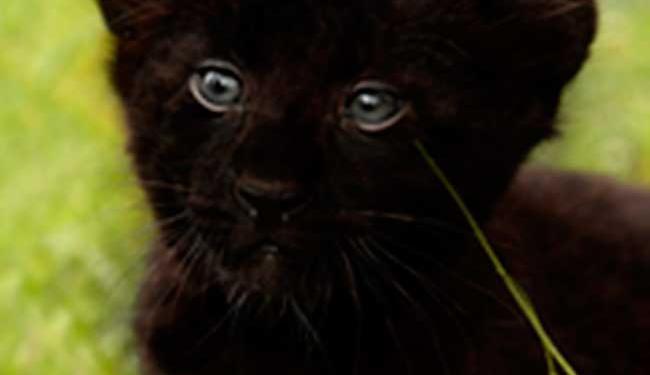 As opções são: Zumbi dos Palmares, Osório ou Diaurum (onça-preta em tupi-guarani) - Foto: Reprodução   Zoológico de Salvador