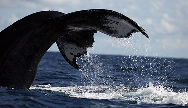 Cerca de 84% desses animais se concentram na região do Banco de Abrolhos - Foto: Lúcio Távora l Ag. A TARDE