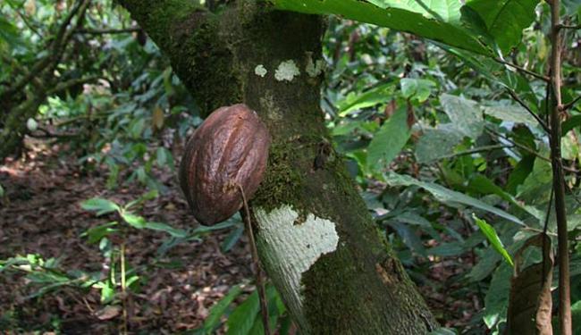 Fruto de cacau atacado pela doença da podridão parda - Foto: Zeka l Ag. A TARDE l 26.04.2008