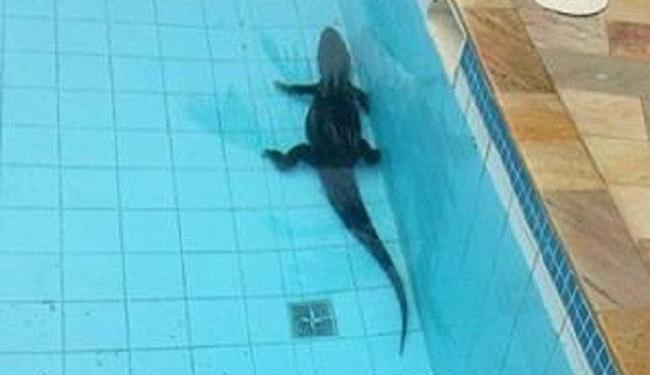 Jacaré estava nadando na piscina - Foto: Reprodução   Instagram