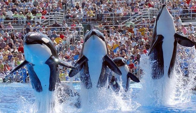 Segundo documentário, as orcas sofrem maus tratos - Foto: Divulgação