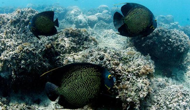 O peixe-frade é uma das espécies encontradas em fundos rochosos e coralíneos - Foto: Lúcio Távora l Ag. A TARDE l 20.09.2014
