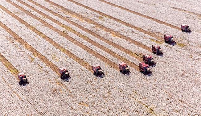 O bicudo vem diminuindo a rentabilidade e contribuindo para o encolhimento da área plantada - Foto: Ivanir Maia l Divulgação l 03.02.2004