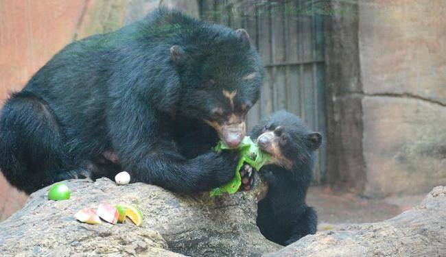Ursinho é filho do baiano Pepito e Penélope - Foto: Divulgação | Zoológico de Salvador