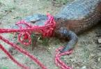 Jacaré de dois metros é encontrado em faculdade em Pituaçu - Foto: Divulgação | Ucsal