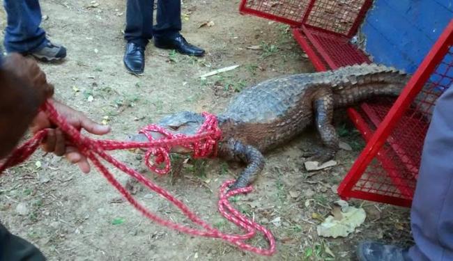 Jacaré foi capturado na manhã desta sexta, 12 - Foto: Divulgação | Ucsal