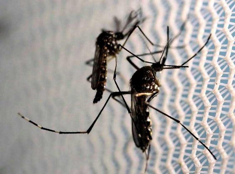Mosquito Aedes é transmissor da Zika - Foto: Paulo Whitaker | Reuters