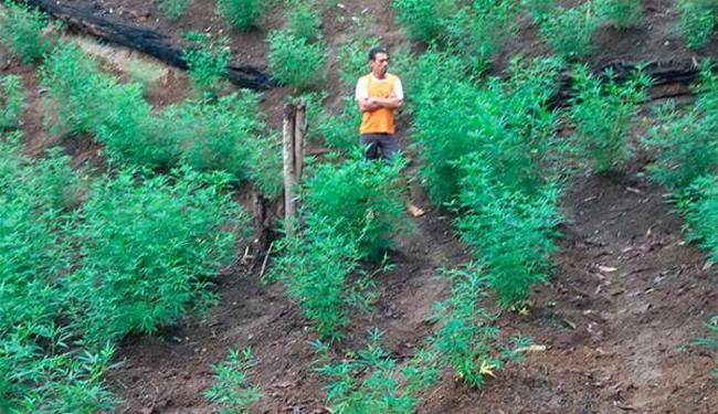Os policiais encontraram 300 pés de maconha na casa do suspeito - Foto: Site O baianão